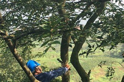 广安供电公司邻水县公司员工在10kV坛子线子晒支线1号杆砍伐树障